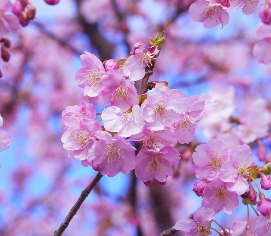 flor-cerezo.jpg