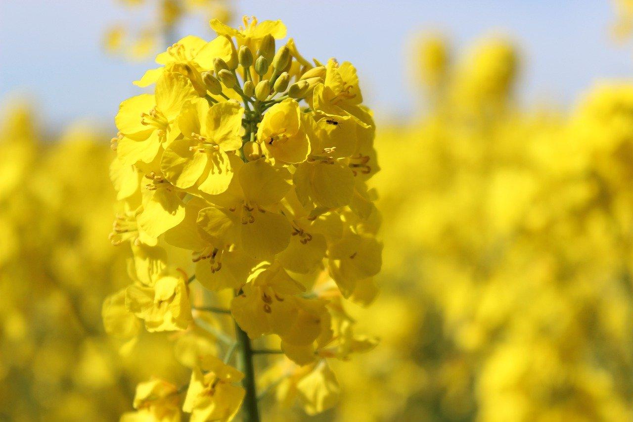 flor-colza.jpg