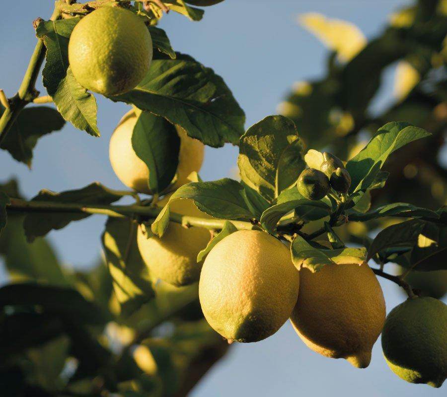 limones-balius-900x800-1.jpg