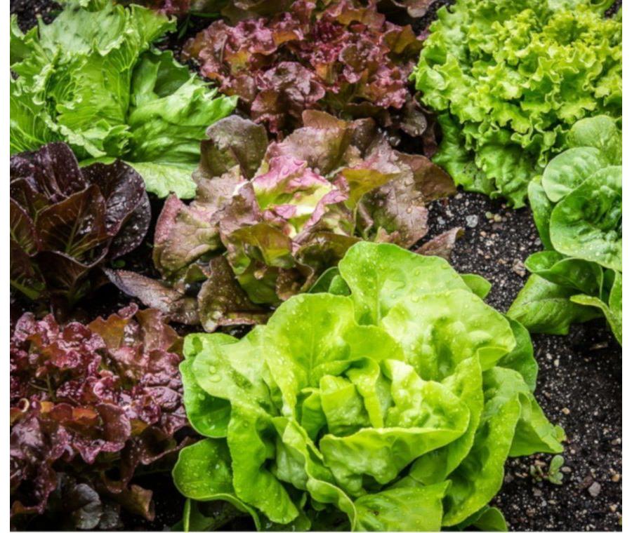 Arbuscular mycorrhizal symbiosis alleviates detrimental effects of saline reclaimed water in lettuce plants