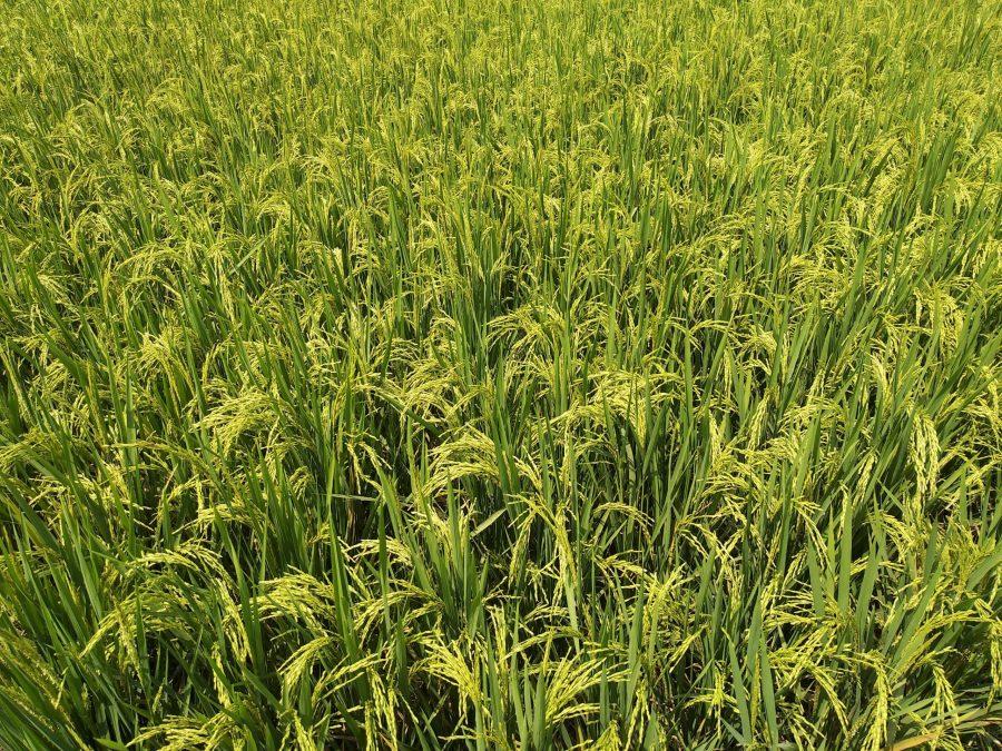 Mejora del rendimiento del cultivo del arroz mediante la aplicación de micorrizas aisladas en condiciones salinas
