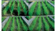 Effect of Glomus Iranicum in rice