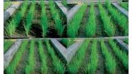 Rendimiento del cultivo del arroz en condiciones salinas