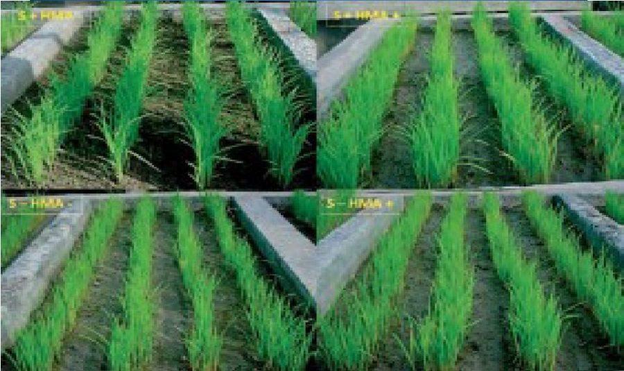 Effect of Glomus Iranicum in rice